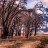 Cottonwood Trees along Grand Teton National Park, Wyoming