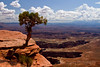 Twisted Tree on the Edge, Canyonlands National Park