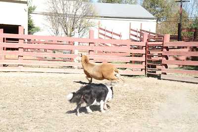 Herding Instinct: Dominic-Molly