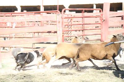 Herding Instinct: Ellen-Bear; Ellen-Maddie