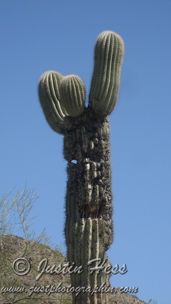 "This Saguaro Cactus says ""howdy partner!"""