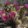 Flowering Hedgehog Cactus.