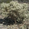 This is a type of cholla.
