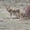 Coyote, Upper Beaver Meadows, Rocky Mountain National Park, Colorado
