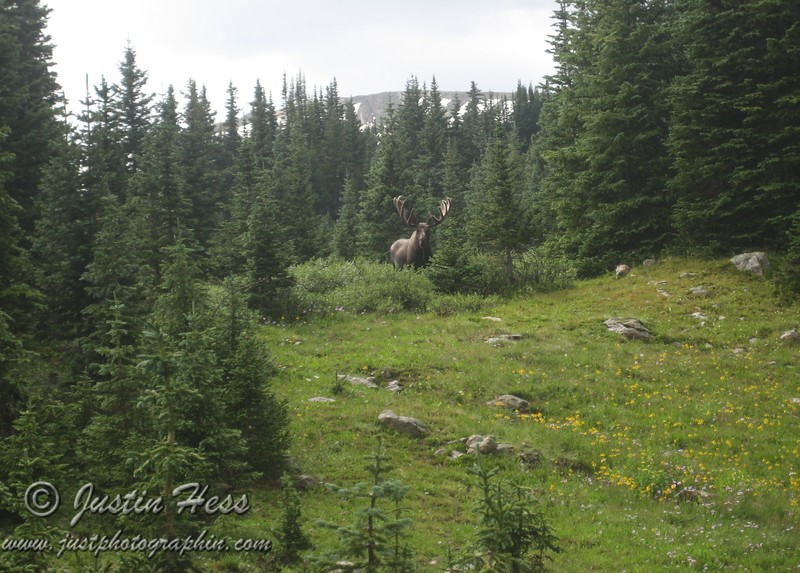 This big bull moose certainly did notice us.
