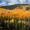 Another panorama image of the patch of aspen fall color.