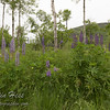 Lupine [not native to Acadia National Park]