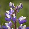 Lupine close up [not native to Acadia National Park]