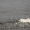Common Eider and Surf