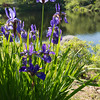 Iris in the Asticou Azalea Garden