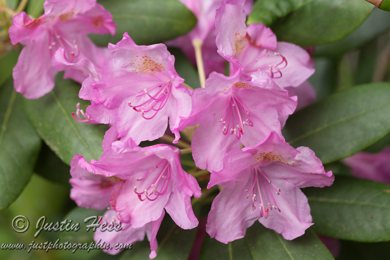 Azaleas [or Rhododendrons]