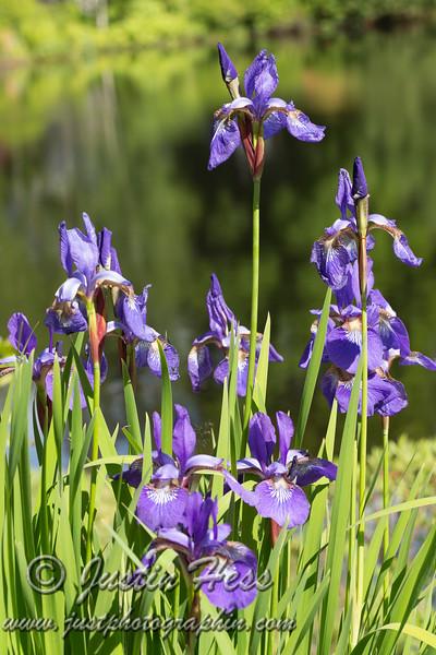 Iris in the Asticou Azalea Garden