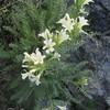 Snowlover flowers?