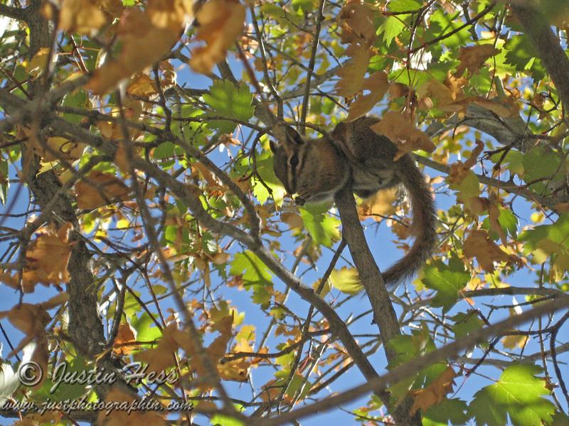 Chipmunk hanging in a bush