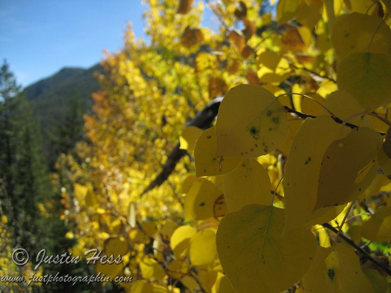 Aspen - Fall Color - Above Cub Lake