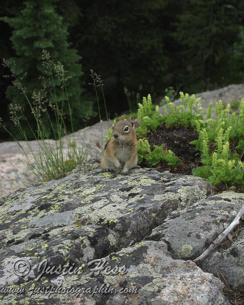 Golden-mantled Ground Squirrel above Nymph Lake.