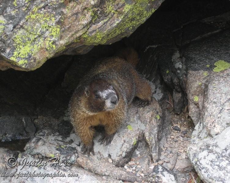 Yellow-bellied Marmot near Emerald Lake