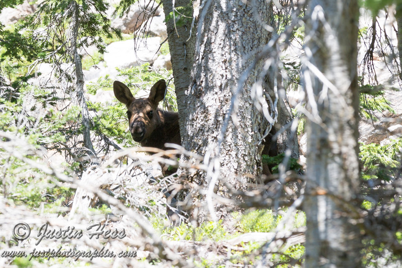 Young Moose with mother nearby.
