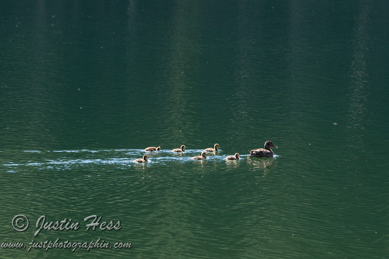A mother duck with six ducklings in tow.