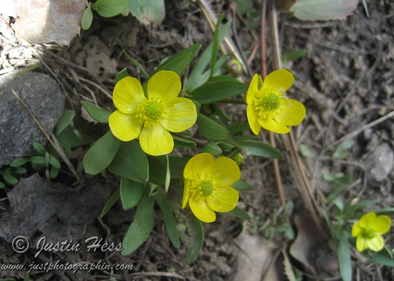 Buttercups along the trail to Cub Lake.