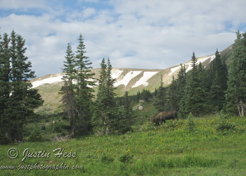 I don't think that this moose noticed us.