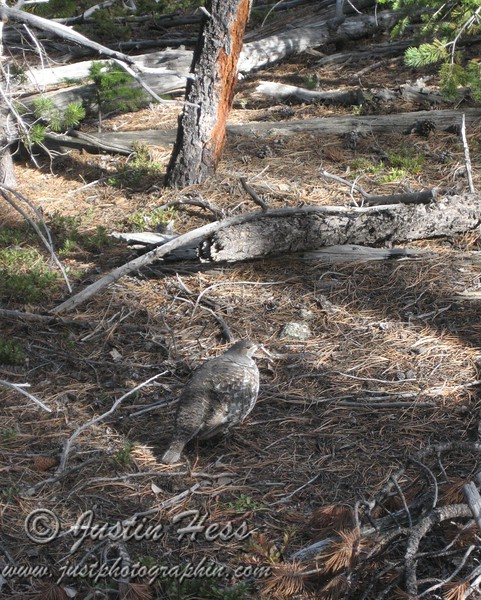 I think this is a grouse, because of the elevation.  The other option is a ptarmigan that was in a weird location lower than they are usually found.  We couldn't see the feet for a positive ID.  Ptarmigan have white feet.