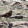 Scratching Marmot
