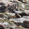 Waving Marmot