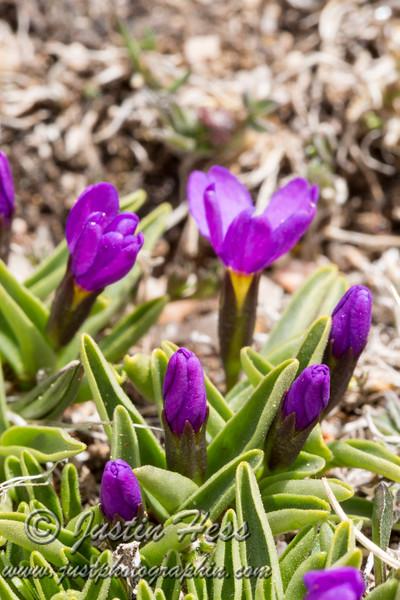 Budding Alpine Primrose