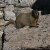 Yellow-bellied Marmot posing on a boulder in the Boulder Field.