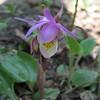 Calypso Orchid - Fairy Slipper