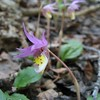 Calypso Orchids - Fairy Slipper