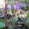 Calypso Orchids - Fairy Slippers