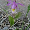 Calypso Orchid - Fairy Slipper