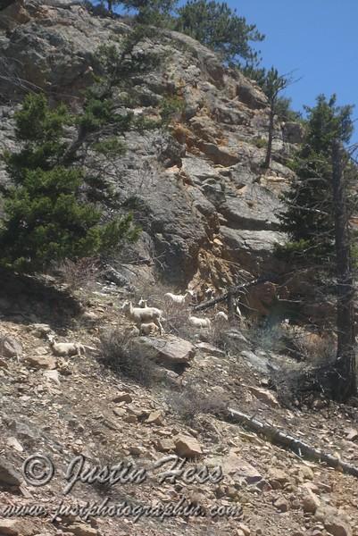 Big Horn Sheep at the base of Old Fall River Road.
