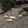 Big Horn Sheep Rams