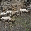 Big Horn Sheep Rams