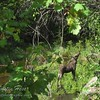 Teenage Moose along the trail to The Pool.