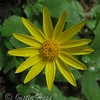 Arnica along the trail to The Pool