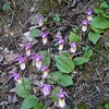 Calypso Orchids [aka: Fairy Slippers]