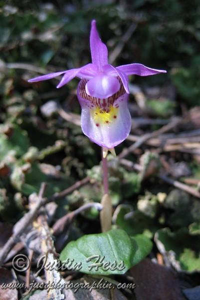 Calypso Orchid [aka: Fairy Slipper]