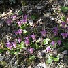 Calypso Orchid Cluster