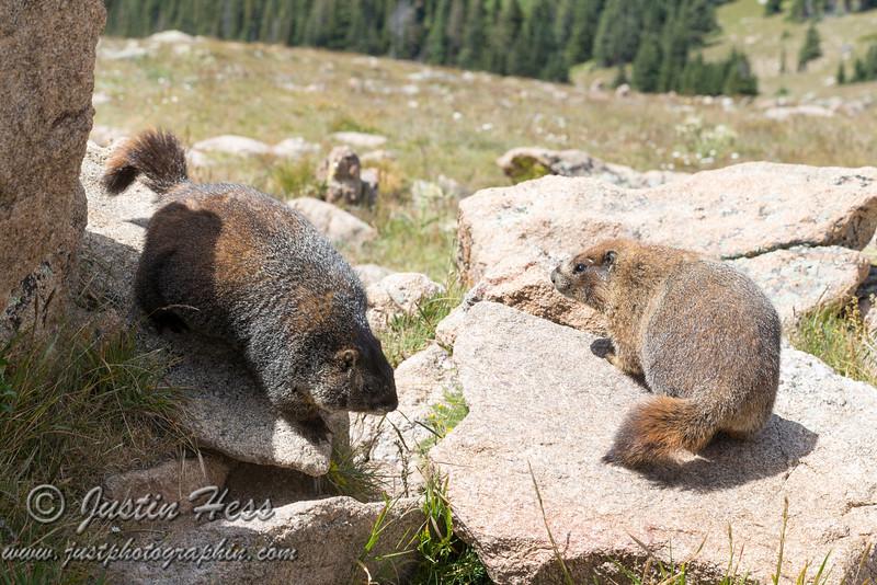 Feisty Marmots