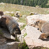 Feisty Marmots