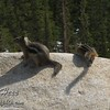 Difference between the Golden Mantled Ground Squirrel [left] and the Least Chipmunk [right].  This photo was taken at Rainbow Curve.