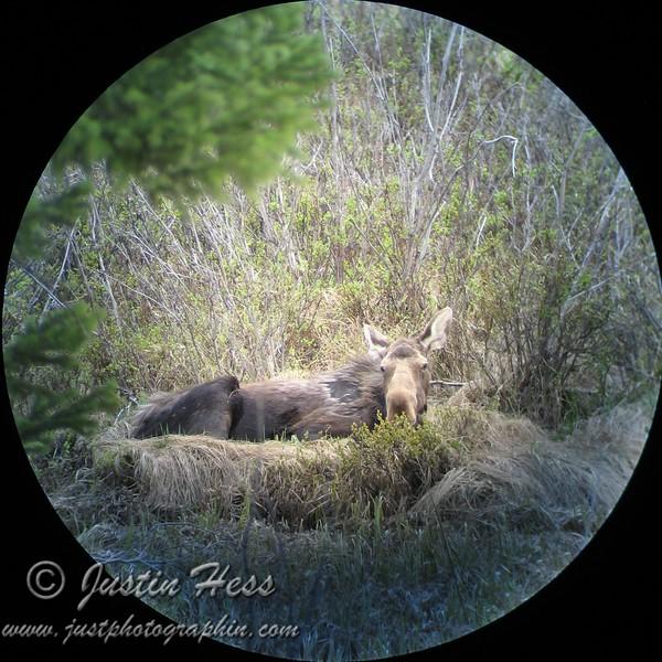 Cow [female] Moose