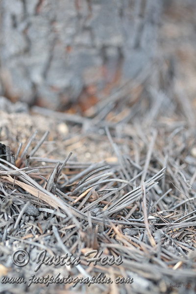 Burnt pine needles