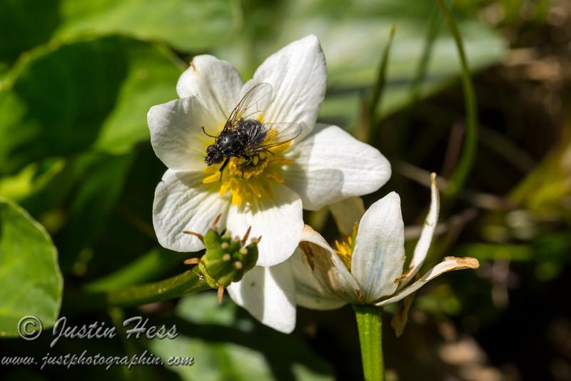 Globe Flower Fly