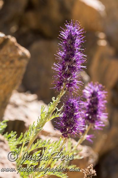 Purple Fringe flower