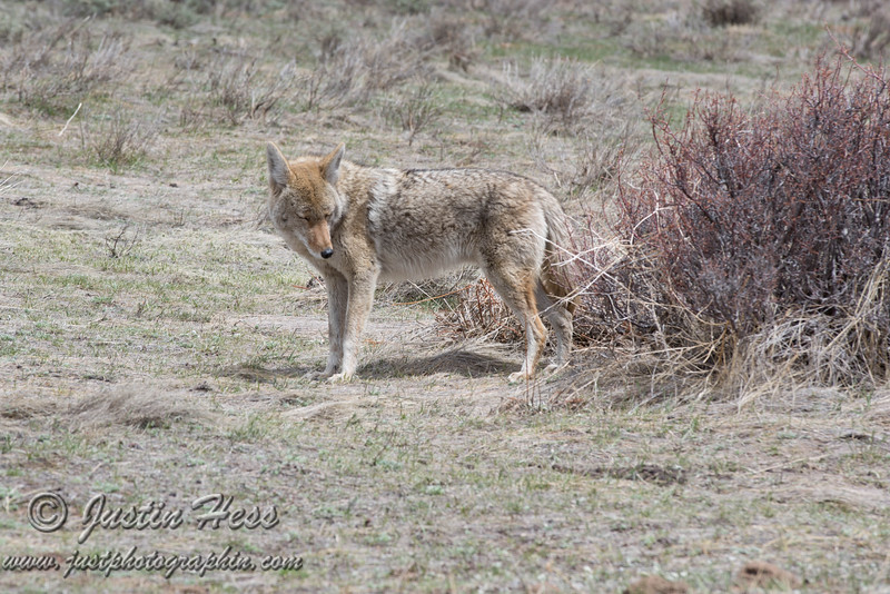Coyote, Upper Beaver Meadows, Rocky Mountain National Park, Colorado